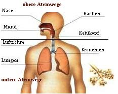 Atemwegssystem